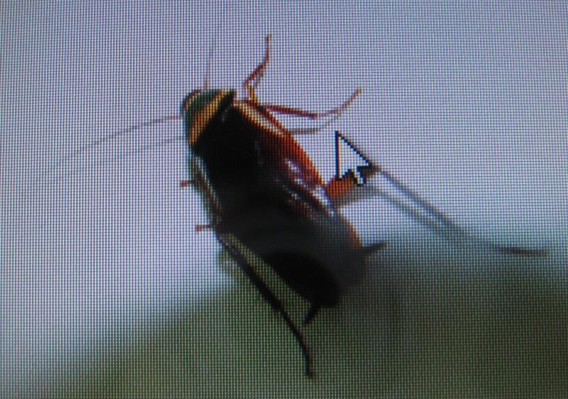 蟑螂也会痛吗?——从无脊椎动物谈动物权