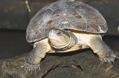 淡水龟 在台湾