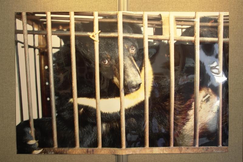 活取熊膽的作法備受國際批評